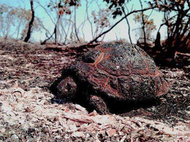 Turtle burned caused by arson of the Meriwan forest